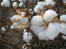 An image of a cotton plant