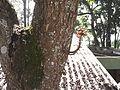 Couropita guianensis-Dr.sudaram house-yercaud-salem-India.JPG