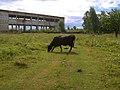 Cow - panoramio.jpg
