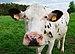 Cow along the RAVeL 5 L38 in Thimister-Clermont, Belgium (DSCF6054).jpg