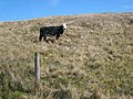 Cow on hillside in the Arigna valley - geograph.org.uk - 797927.jpg
