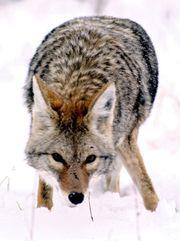 Kojot prériový v Národním parku Grand Teton