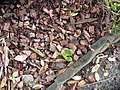Crassula ovata (Mill.) Druce (AM AK329827-3).jpg