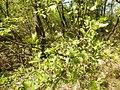 Crataegus monogyna (Rosaceae) 03.jpg