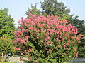 Crepe myrtle at Monroe's Ashlawn in VA IMG 4093.JPG