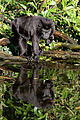 Crested Black Macaque (4043622666).jpg