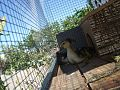 Crias macho de Pato Mudo (7).jpg