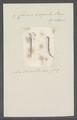 Criseis virgula - - Print - Iconographia Zoologica - Special Collections University of Amsterdam - UBAINV0274 080 07 0018.tif
