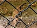 Crocodile, Limbe wildlife centre.jpg