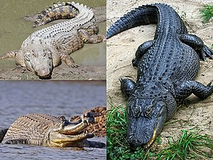 Crocodilia - Clockwise from top-left: saltwater crocodile (Crocodylus porosus), American alligator (Alligator mississippiensis), and gharial (Gavialis gangeticus)