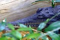 Crocodylus johnstoni 1zz.jpg