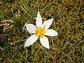 Crocus sieberi Bowles White6.jpg