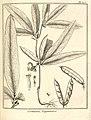 Crotalaria guianensis Aublet 1775 pl 305.jpg
