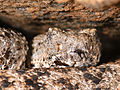Crotalus mitchelli (Speckled Rattlesnake) (2286251209).jpg