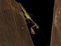 Cryptic Mantis (Sibylla pretiosa) (11481731373).jpg