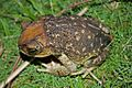 Cuban Spotted Toad (Peltophryne taladai) (8573972169).jpg