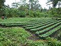 Cultivos de cafè.JPG