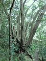 Cunonia capensis tree in Table Mountain indigenous forests.jpg