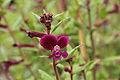 Cuphea viscosissima-IMG 4222.jpg