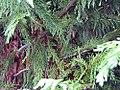 Cupressocyparis leylandii 2zz.jpg