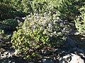 Cupressus stephensonii with Massive Cone Crop. - Flickr - theforestprimeval.jpg