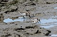 Curlew Sandpiper with stints (Calidris ferruginea) (31323841106).jpg