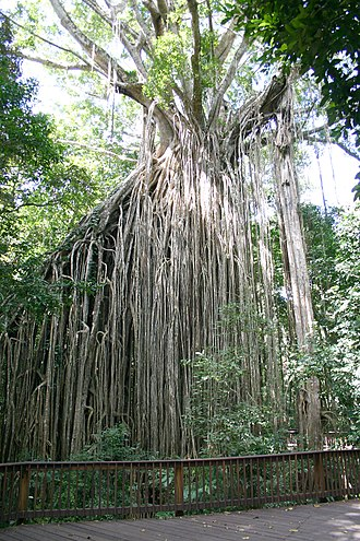 Yungaburra - Image: Curtain Fig