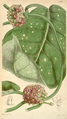 Curtis's Botanical Magazine, Plate 4299 (Volume 73, 1847).png