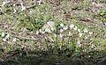 Cyclamen persicum 13.jpg