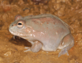 Cyclorana platycephala (northern), female, lateral view.png