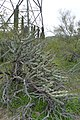 Cylindropuntia acanthocarpa, Staghorn Cholla, Sonoran Desert - panoramio.jpg