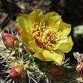 Cylindropuntia acanthocarpa var coloradensis 11.jpg