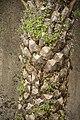 Cymbalaria muralis dans un Phoenix-3352.jpg