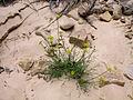 Cymopterus beckii TPrendusi lg.jpg