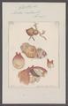 Cynthia rustica - - Print - Iconographia Zoologica - Special Collections University of Amsterdam - UBAINV0274 092 01 0033.tif