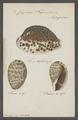 Cypraea tigris - - Print - Iconographia Zoologica - Special Collections University of Amsterdam - UBAINV0274 088 02 0035.tif