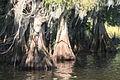 Cypress roots (268953096).jpg