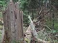 DSC00296kaatunut puu.jpg