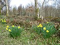 Daffodils in the wood near Stone Cottage - geograph.org.uk - 565920.jpg