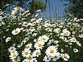 Daisies at Hollingbury Wild Park Nature Reserve - geograph.org.uk - 844107.jpg