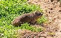 Damán de El Cabo (Procavia capensis), Simon's Town, Sudáfrica, 2018-07-23, DD 48.jpg