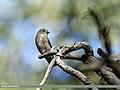 Dark-sided Flycatcher (Muscicapa sibirica) (36835525264).jpg