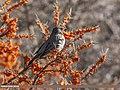 Dark-throated Thrush (Turdus ruficollis) (36312963895).jpg