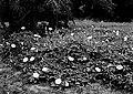 Datura growth in Zion National Park. Datura Meteloides. Flower white, leaves deep green. (8aea5ba705ae4fccb208e0d06579cb9b).jpg