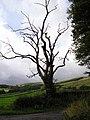Dead Tree - geograph.org.uk - 43793.jpg