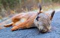 Dead squirrel 2.jpg