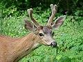 Deer (2a598573cbc7415d9fe9f8e1e5191c9a).JPG