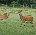 Deer - panoramio (6).jpg