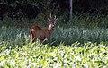 Deer 6.jpg