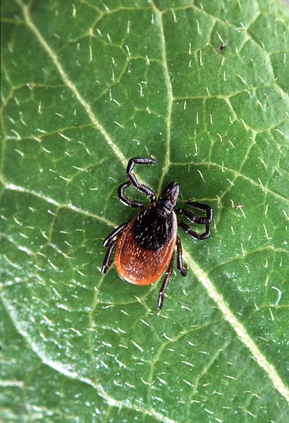 File:Deer tick insect ixodes scapularis.jpg
